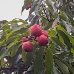 Lychees on the tree
