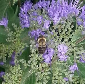 new Bahía temple Chicago honeybee pollenating