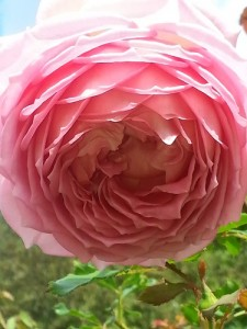 new Bahía temple Chicago pink rose full