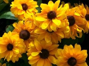 new Chicago Botanical gardens black eyed susans
