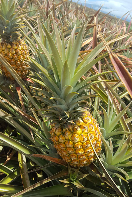 Pineapple ready to harvest at Maui Gold