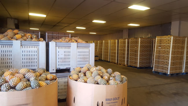 Pineapples ready for shipping at Maui Gold
