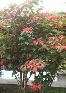 Poinsettia Bush