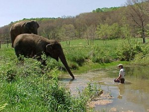 Winkie the Elephant venturing into a pond for the first time. From The Elephant Sanctuary